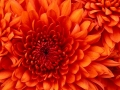 Chrysanthemum (Small)